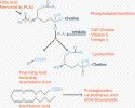 Phospholipase A2 (PLA2)